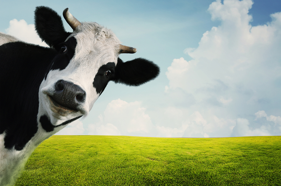 bigstock-Funny-cow-on-a-green-summer-me-43264438